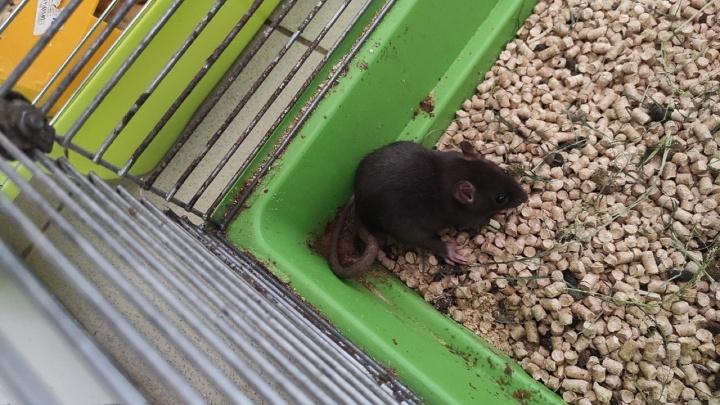 В Екатеринбурге спасли крыс, которых разводили на корм змеям
