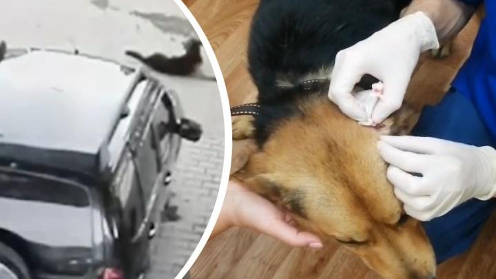 Собаку, которую переехали на заправке в Арамиле, спасли волонтеры. Пес не сможет ходить без операции