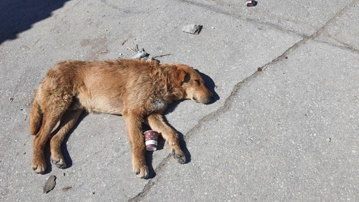 Мэрия Самары опять объявила о поиске фирмы для отлова бездомных собак