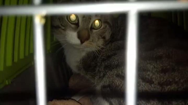 «Шерсть сильно пахнет дымом»: волонтеры отыскали кота, выжившего в пожаре на улице Рассветной
