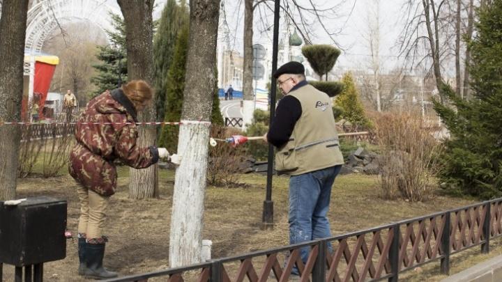 Прервали многолетнюю традицию: в Ярославле власти отказались от побелки деревьев