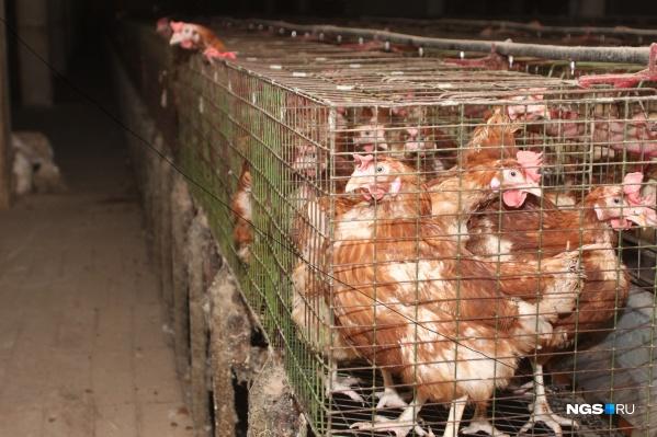 Производство цыплят-бройлеров пришлось закрыть