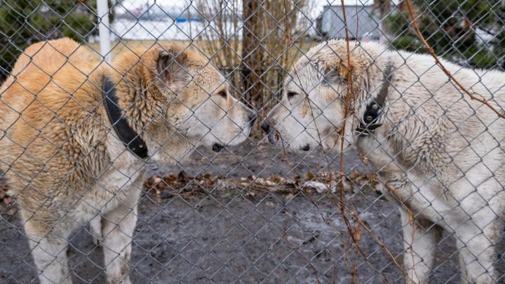 В Зауралье выявили два случая бешенства у домашних собак