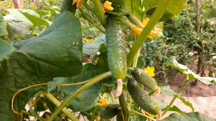 Желтеют и горчат: чем сейчас подкормить огурцы, чтобы получить огромный урожай и не потерять его