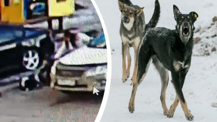 Биркованная бродячая собака укусила за лицо 2-летнего мальчика. Следователи начали проверку