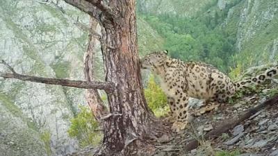 Фотоловушка сняла игры котят снежных барсов в Саяно-Шушенском заповеднике — посмотрите на эту милоту