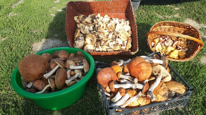 Да где вы их берете? Показываем полные грибов корзины тюменцев (и подсказываем, куда идти в лес)