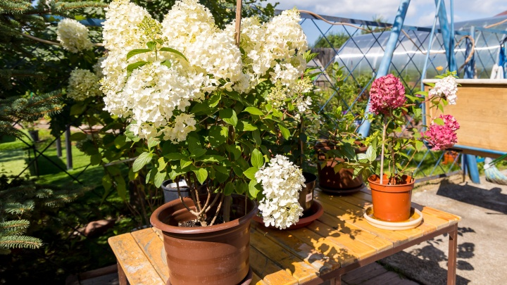 «Храните как картошку»: садовод из Овинного рассказала секрет пышных гортензий и роз