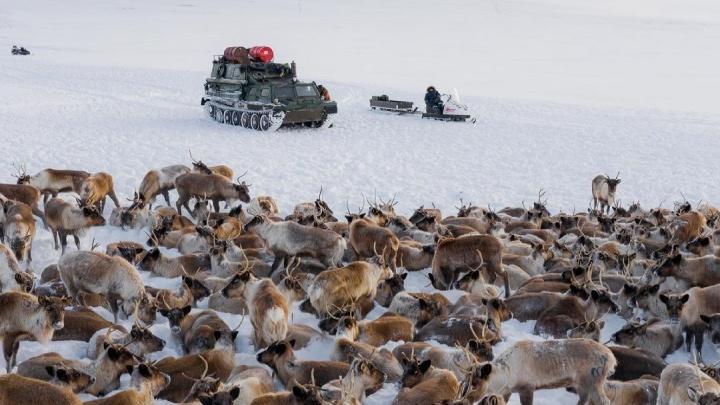 «Будто попал в несуществующую локацию»: новосибирский фотограф сделал сказочные снимки чукотских оленей