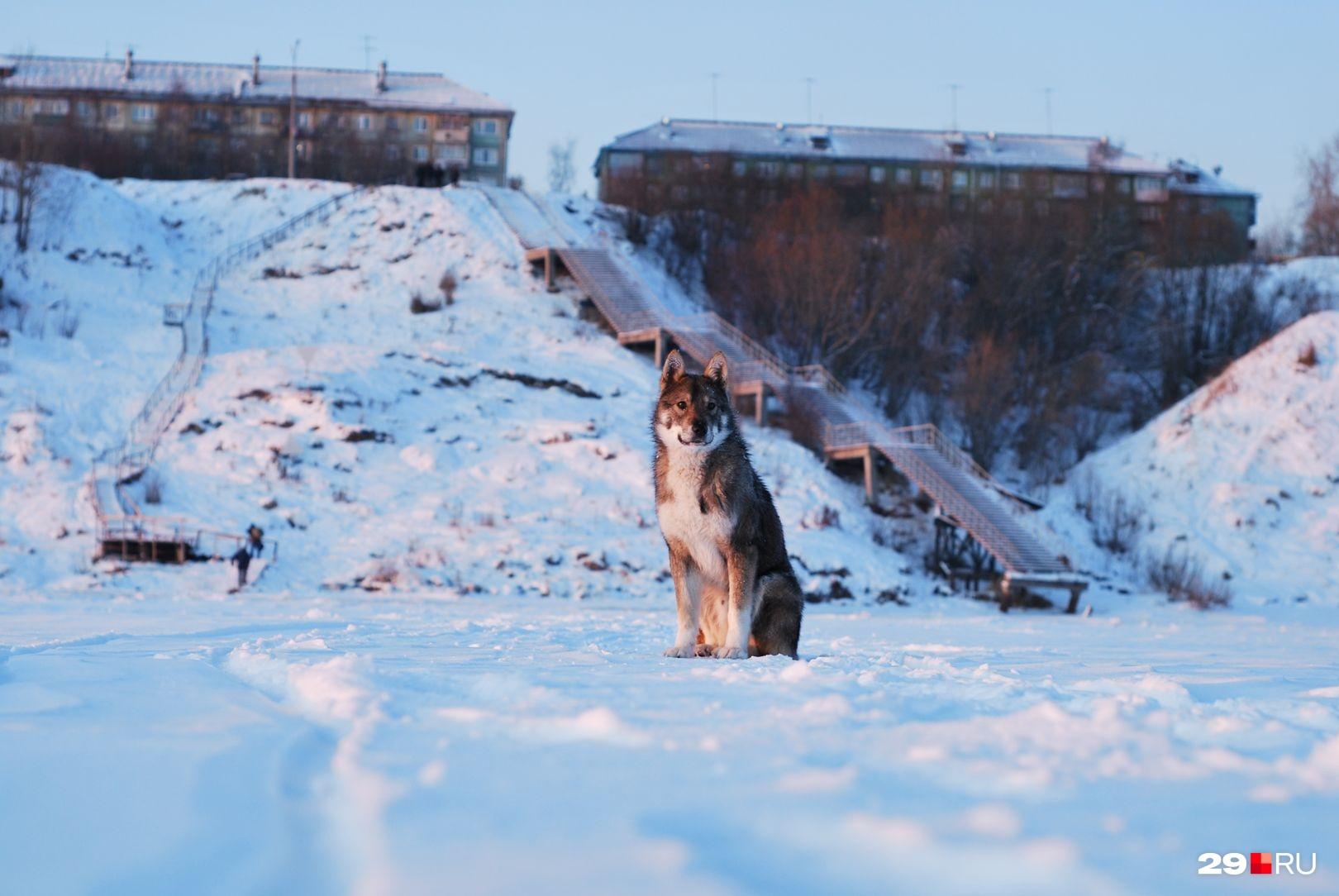 Редко собаки могут дать отпор волку. Обычно же псы цепенеют от страха при виде хищника