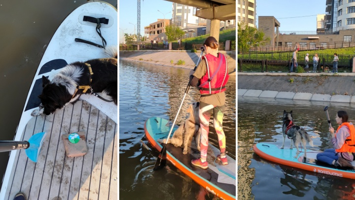 Красноярцы организовывают заплывы на сапбордах с собаками. Пушистым нравится!