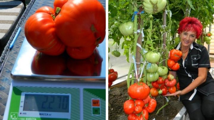 Томат блогера-садовода из Минусинска признан самым большим в России
