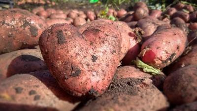 Когда выкапывать картофель, чтобы не лишиться урожая после жаркого лета