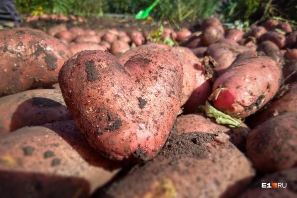 И не выкапывайте картофель раньше времени — это еще никого до добра не доводило