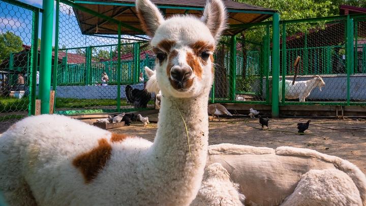 У пары альпак родился первый малыш в красноярском зоопарке. Помогите выбрать имя малышу
