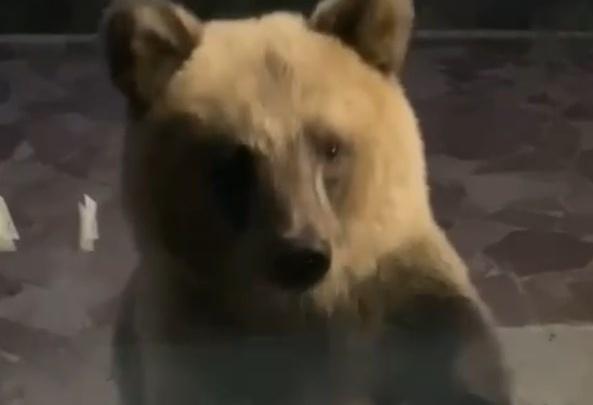 Пришел покушать: на курорте Башкирии сняли на видео медведя, который пробрался к ресторану