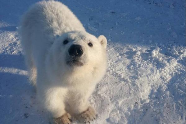 Медвежонок привык к людям и не сможет жить в дикой природе, уверены научные сотрудники