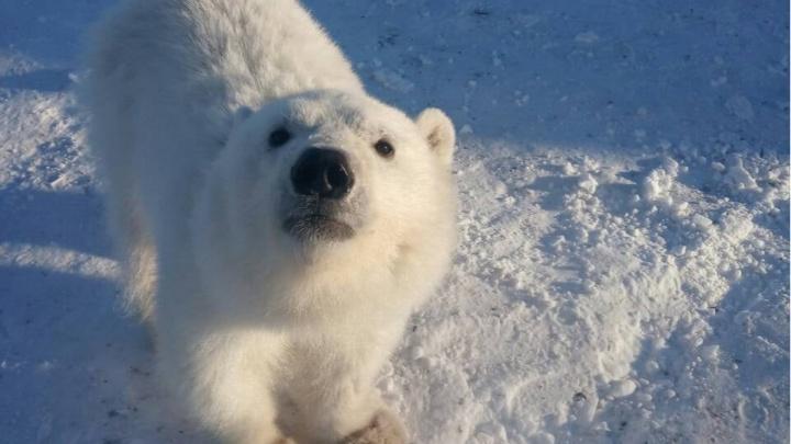 Умирающего медвежонка спасли с острова на севере Красноярского края. Он поселится в московском зоопарке