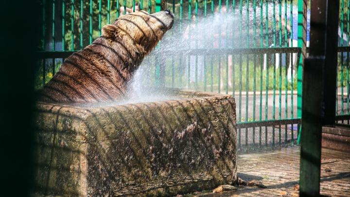 Плещутся и ревут от радости: смотрите, как переживают жару медведи в уфимском Парке лесоводов