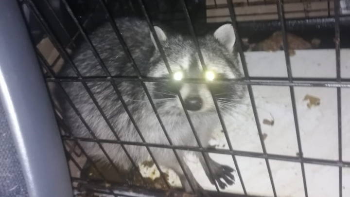 В магазине сантехники в Кольцово поймали енота-разбойника. Его ночные похождения сняла камера наблюдения