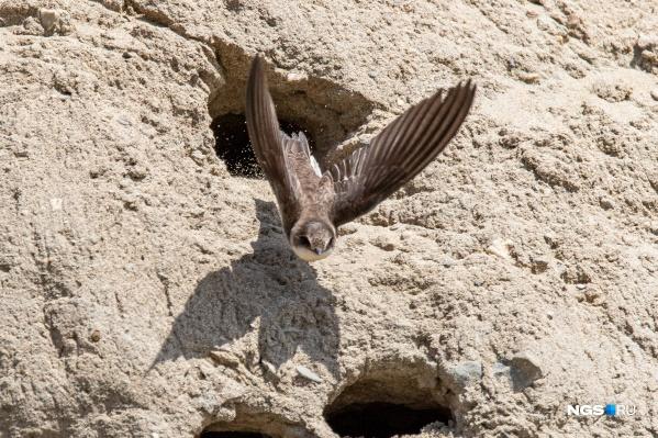 Сотни гнезд ласточек-береговушек оказались на территории строительства ЛДС на этой неделе