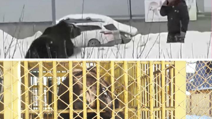 Хозяин медведицы из Нижневартовска рассказал, как она сбежала и на кого пыталась напасть (и почему)