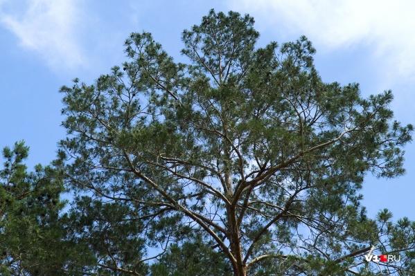 Сосны гибнут из-за нехватки влаги в земле
