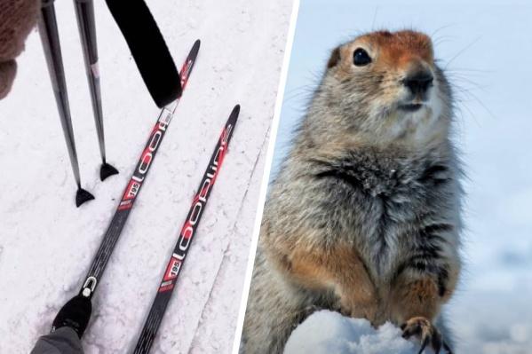 Первых сусликов красноярка увидела вчера во время лыжной прогулки