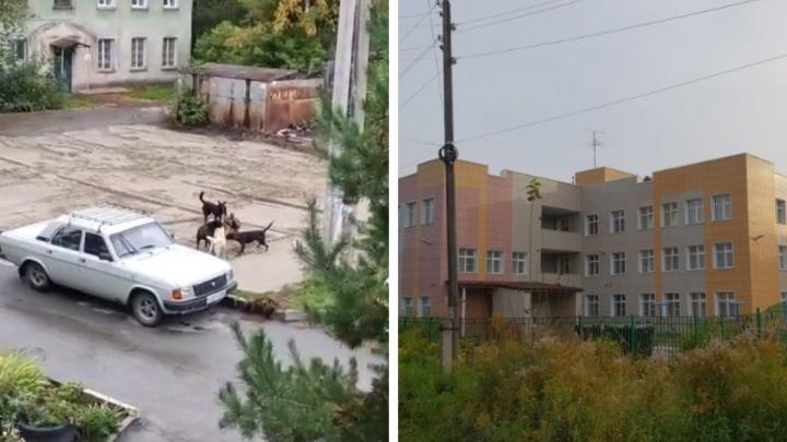В Новосибирске ловцам за полгода удалось поймать только одну собаку из стаи у детского сада, пугающей жителей