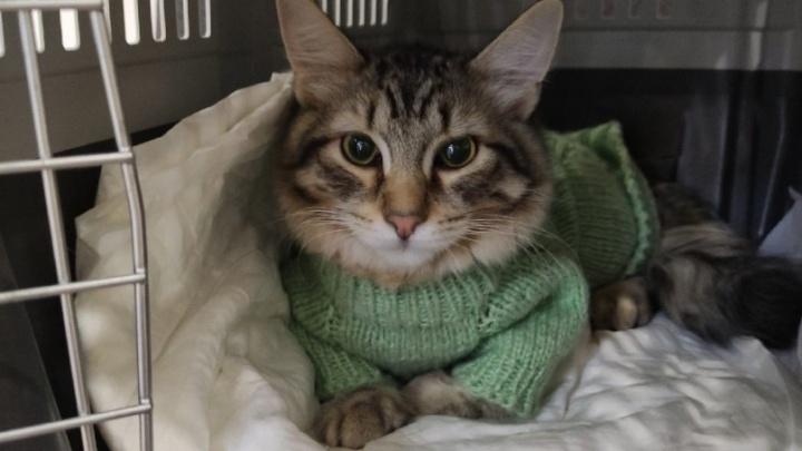Пермский приют «Матроскин» попросил пермяков помочь коту, заболевшему коронавирусом