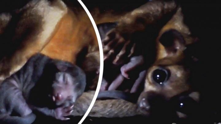 В Ярославском зоопарке пучеглазого малыша кинкажу назвали в честь кометы