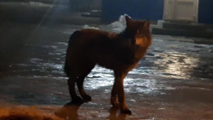 «Встал на дыбы — выше меня раза в два»: волк напал на собаку под Архангельском