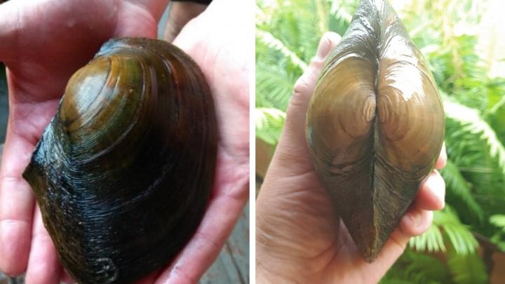 Новосибирец нашел в Ине огромную мидию размером с ладонь. Можно ли ее есть?