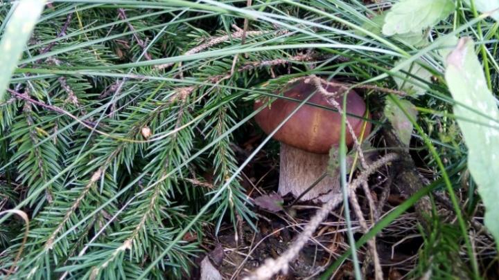 «Будет хороший урожай»: когда в ярославских лесах пойдут первые грибы и где их искать