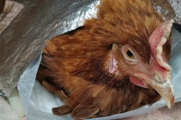 После наркоза курица ничего не понимала, но сейчас уже чувствует себя хорошо
