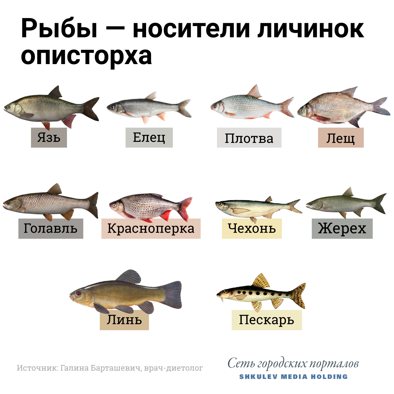 С осторожностью относитесь к рыбе семейства карповых