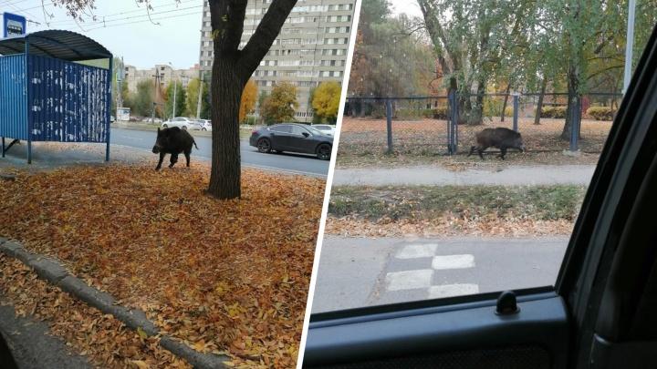 В Тольятти рядом с детским садом бегал кабан