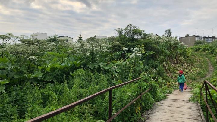 «Рискуем своим здоровьем»: в Ярославле у жилых домов вырос трехметровый лес борщевика