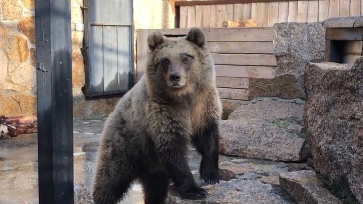 В Челябинске показали, как живет чудом спасенная медведица из Башкирии