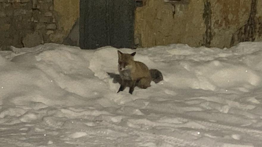 «Не надо их фотографировать»: зоолог объяснила, почему лисы заполонили Ярославль