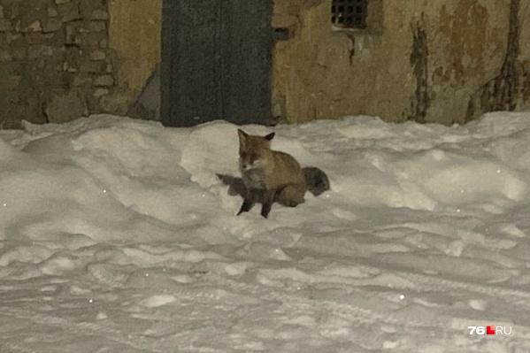 Почему лисы бегут в город