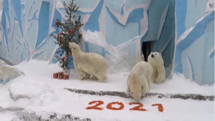 В Новосибирском зоопарке для трех белых медведей нарядили елку и рассыпали угощение (публикуем очень милое видео)