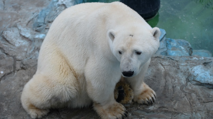 В Екатеринбургском зоопарке рассказали, почему белого медведя Умку не удалось спасти