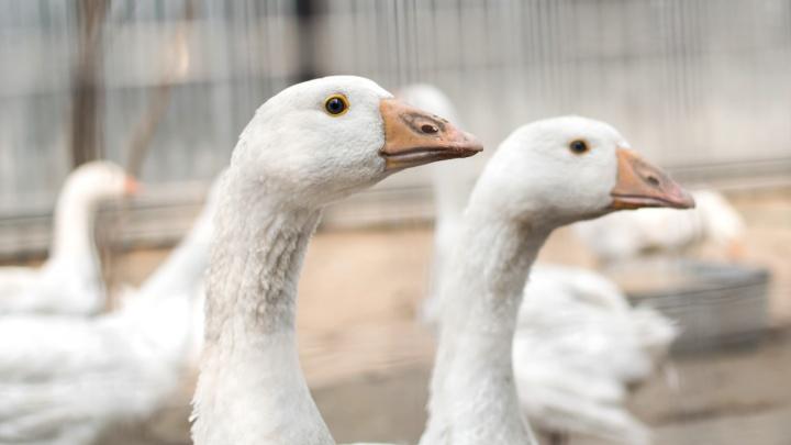 На возрождаемой Обшаровской птицефабрике решили начать с производства гусиного мяса