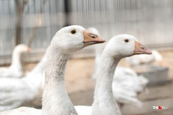 Инвестор птицефабрики сделал ставку на гусиное мясо