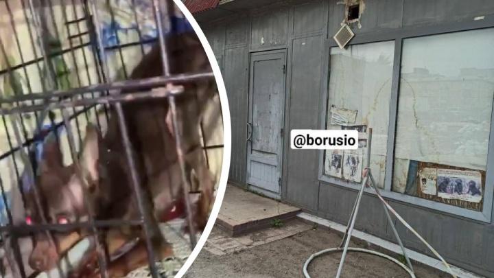 Зоозащитники обвиняют заводчицу из Красноярска в жестоком обращении с животными. Полиция начала проверку