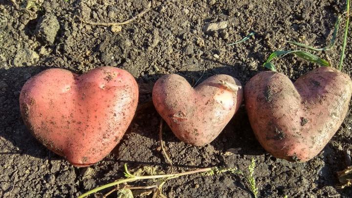 Каждый получит уральскую картошку. В Свердловской области меняют закон о продовольственной безопасности