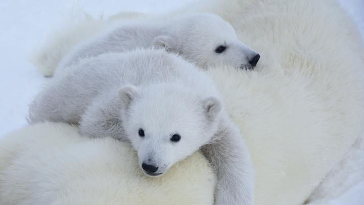 Прогулки по Арктике: фотограф показал милых медвежат и моржей, к которым опасно приближаться