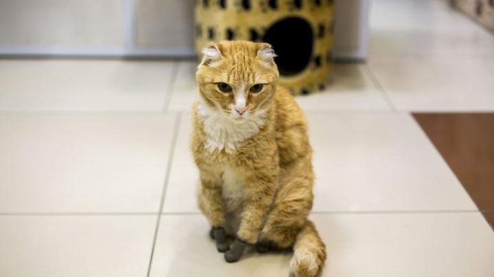 Кот с четырьмя титановыми лапками умер от генетической болезни в Новосибирске