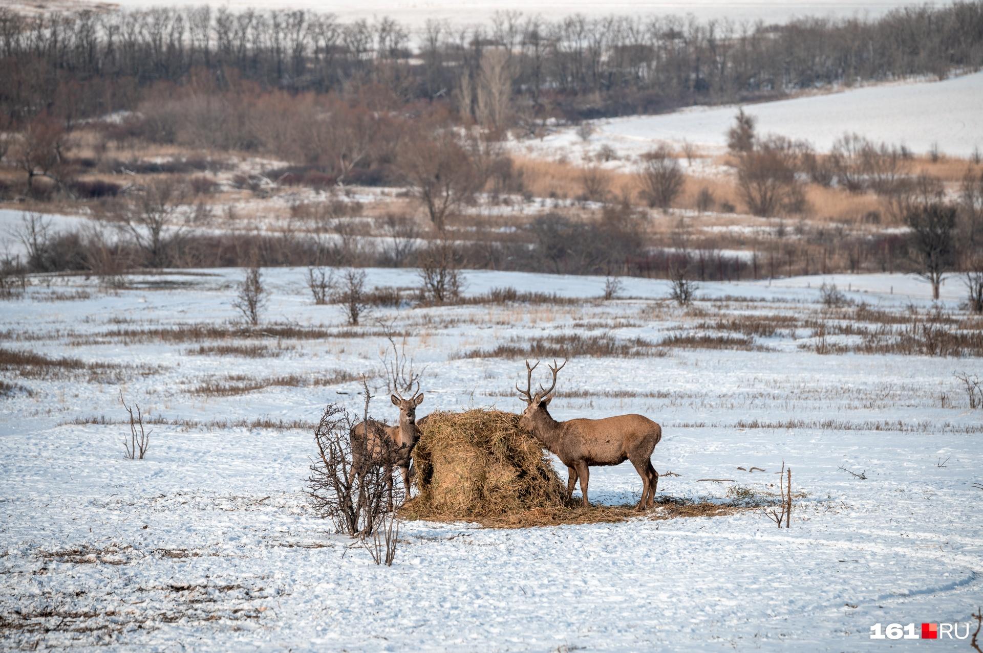 В вольер можно заглянуть через забор-сетку. Зимой животных кормят недалеко от него